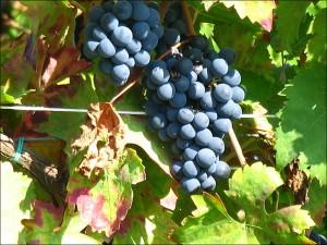 vigne_229